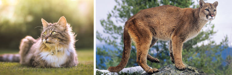 Domestic cat (left) wild puma (right)
