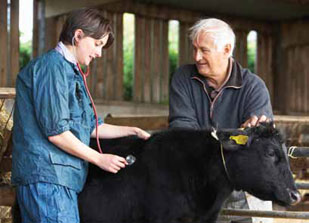 Veterinarian examines a cow on a farm visit