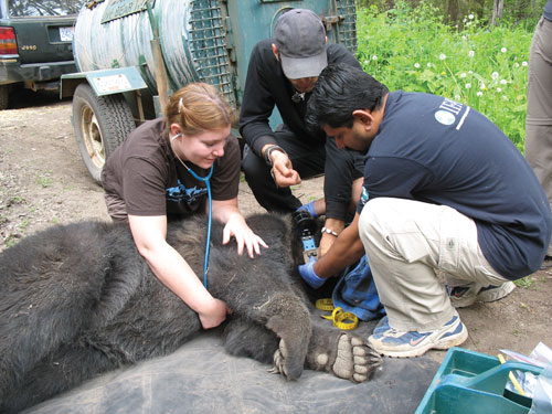 Dr. Heslop examines a sedated bear