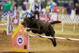Dog jumping over a horizontal pole