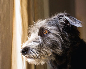 Terrier looking out window