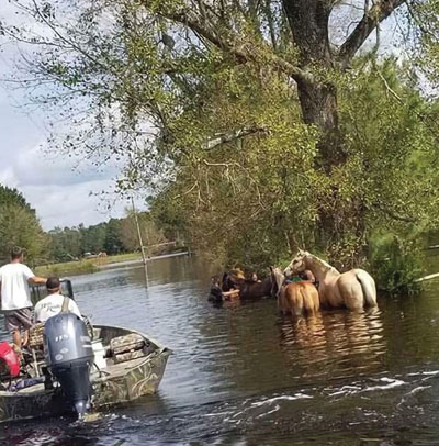 Horses being rescued from floodwaters