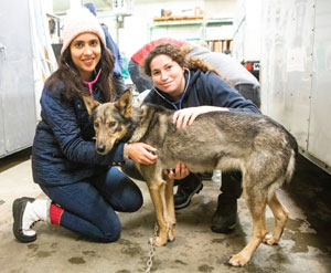 Two veterinary students examining a sled dog