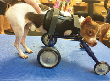 Small dog in an animal wheelchair