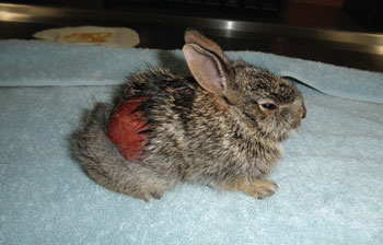 Young cottontail rabbit degloved by an outdoor cat