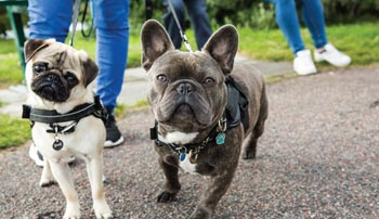 Owners of brachycephalic dogs are a complicated lot | American ...