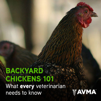 Backyard Chickens 101 What every veterinarian needs to know