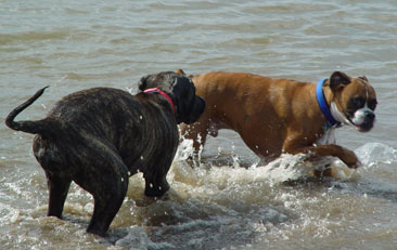 Two dogs outdoors playing in water