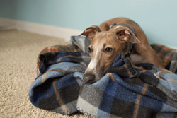 Greyhound resting on a blanket