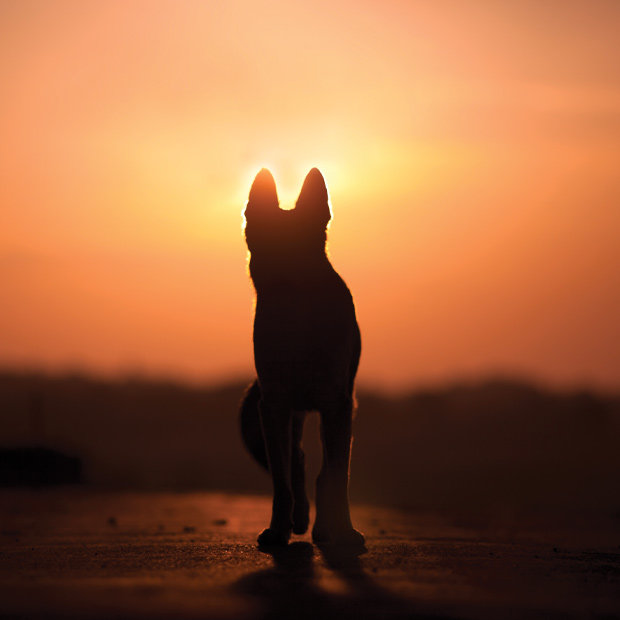 The silhouette of a dog looks into a sunset.